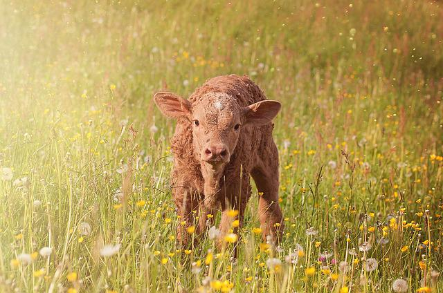 Calf, Young Animal, Beef, Livestock, Cattle, Grass