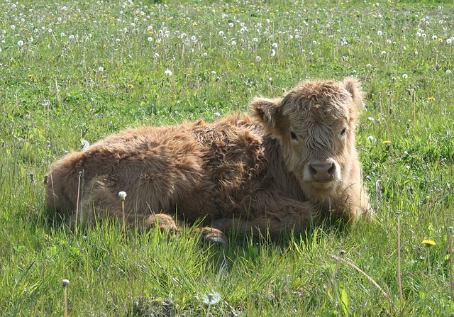 Highland Cattle, Cattle, Scottish Highland Cattle, Calf