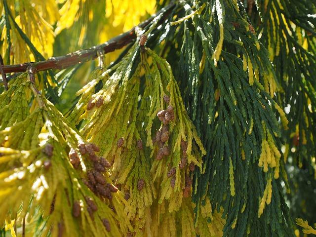 Incense Cedar, Tap, Male Tap, California Incense Cedar