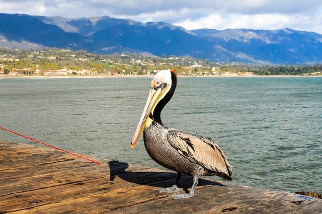 Pelican, Santa Barbara, California, Ocean, Barbara