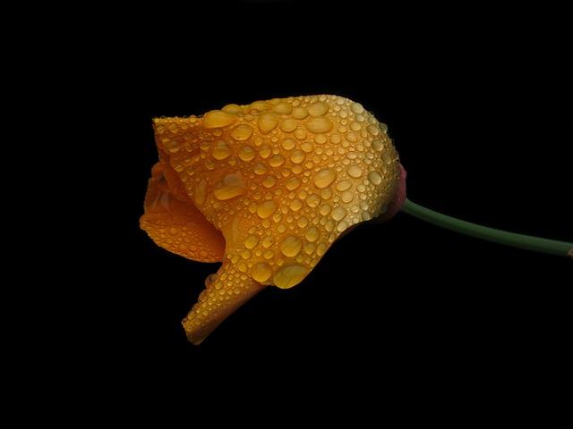 Californian Poppy, Gold Poppy, California Kappenmohn