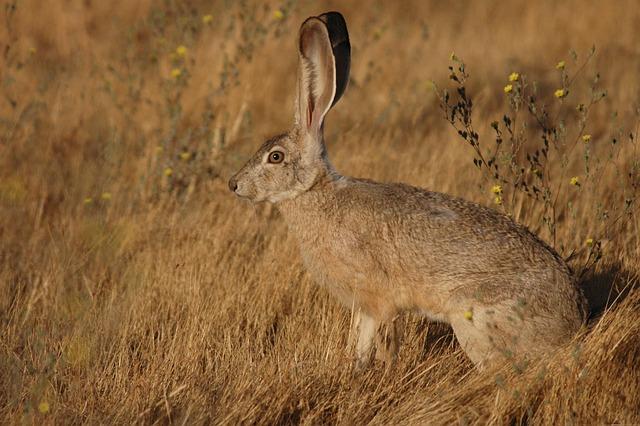 Californicus, Lepus, Jackrabbit, Tailed, Rabbit, Bunny