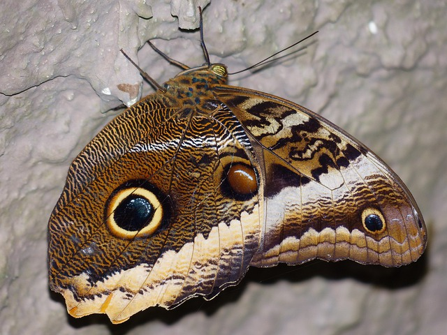 Owl Butterfly, Butterfly, Caligo, Edelfalter