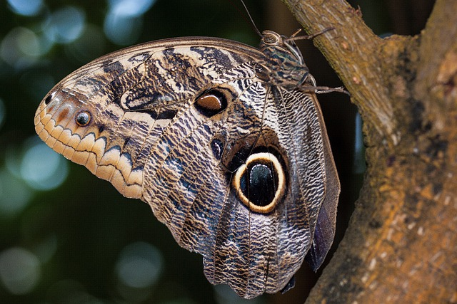 Caligo Eurilochus, Eyes, Butterfly, Exotic, Tropics
