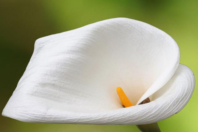 Flower, Blossom, Bloom, Calla, White, White Blossom