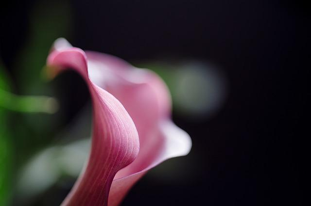 Calla Lilly, Flower, Nature, Floral, Blossom, Lilly