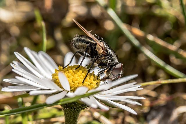 Bluebottle, Calliphoridae, Fly, Brachycera, Insect