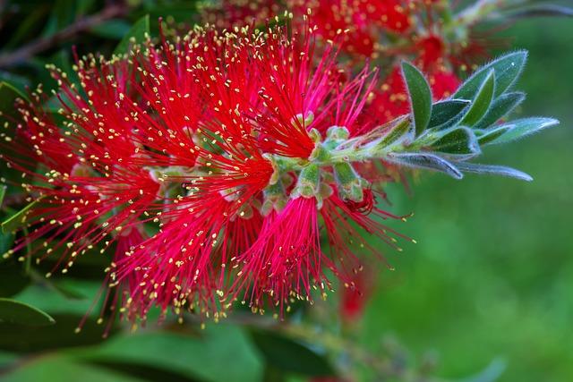 Callistemon, Bottlebrush, Myrtle Plant, Bush, Blossom