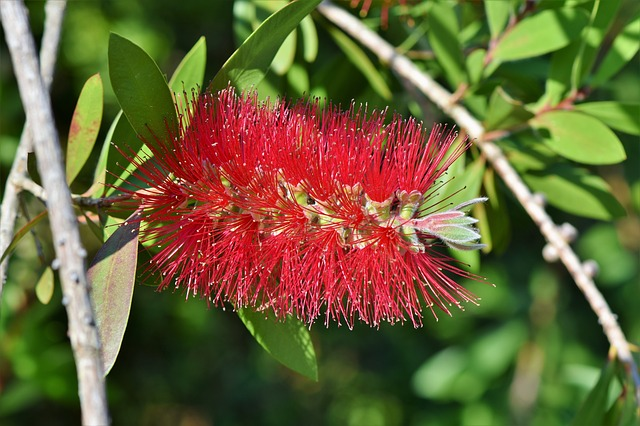 Lemon Bottlebrush, Callistemon Citrinus, Flowers