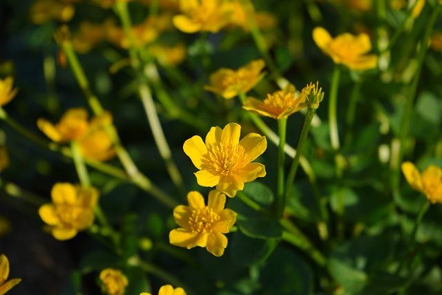 Caltha Palustris, Flowers, Yellow, Hahnenfußgewächs