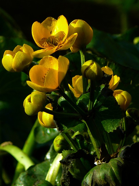 Caltha Palustris, Hahnemann Foot Greenhouse, Yellow