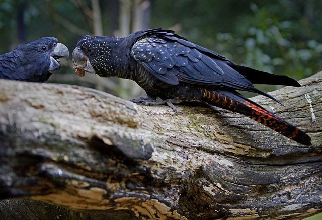 Cockatoo, Red-tailed Cockatoo, Calyptorhynchus Banksii