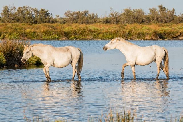 Horses, White Horses, Camargue, Mold, White Horse