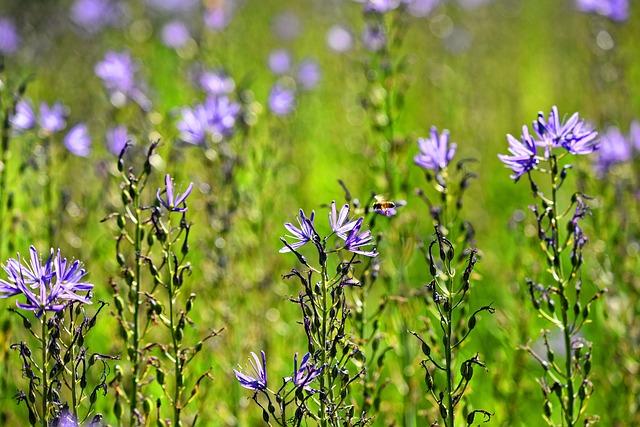Camassia Leichtlinii, Prairie Lilly, Great Camas