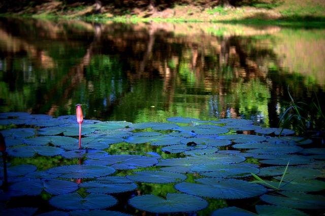 Lotus, Siem Reap, Cambodia