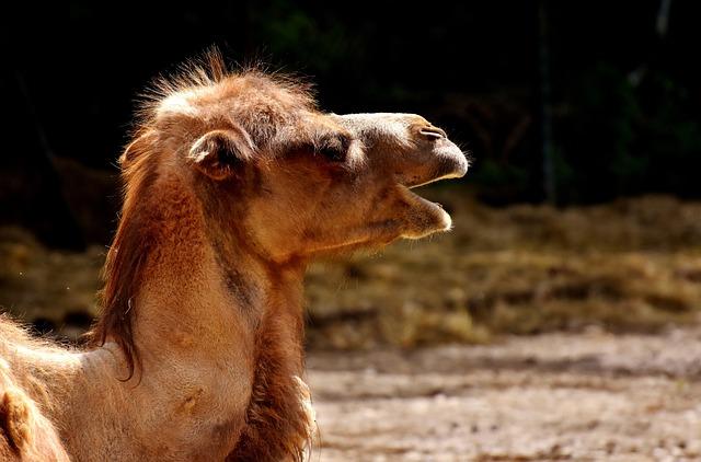 Camel, Zoo, Face, Animal, Nature, Mammal, Hump, Head