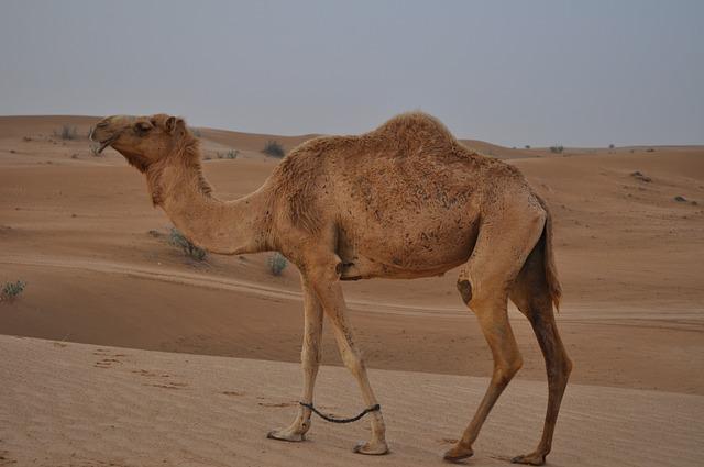 Camel, Desert, Emirates, Dubai, Dune, Landscape