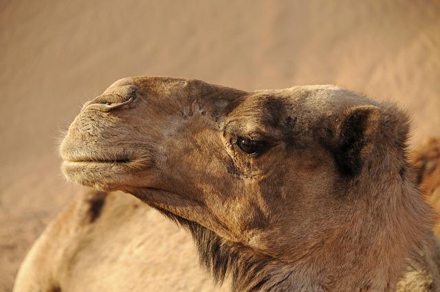Morocco, Camel, Desert, Sand, Sahara, Landscape
