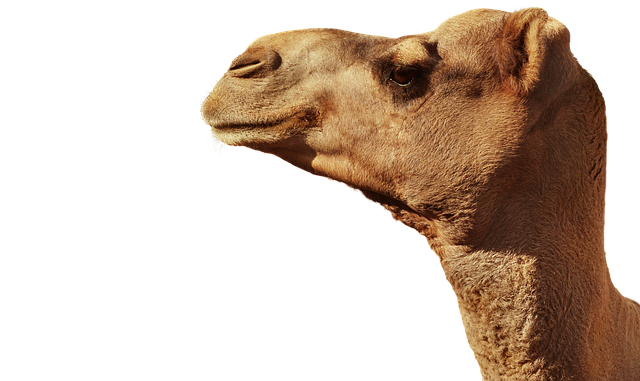 Camel, Animal, Animal Head, Portrait, Isolated