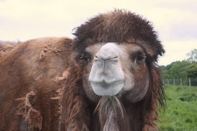 Camel, Animal, Nature, Wildlife, Mammal