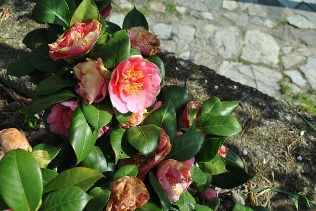 Flower, Color, Camelia, Rosa, Bush
