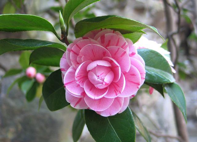 Camellia, China, Flower