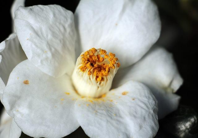 Camellia, Camellia Flower, White, Nature, Blossom