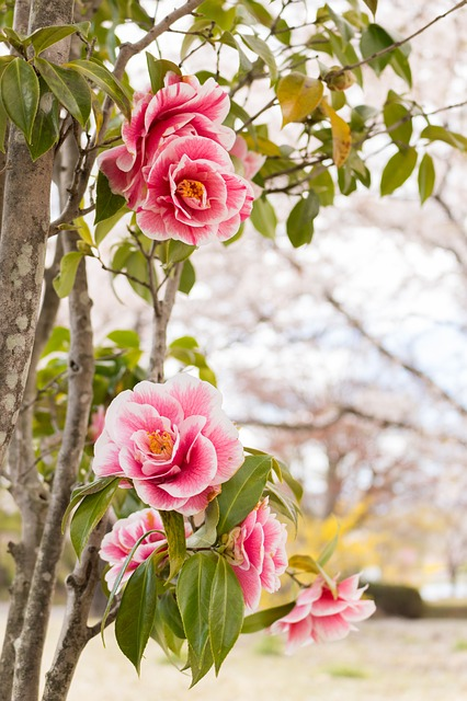 Flowers, Camellia, Spring, Japan, Red