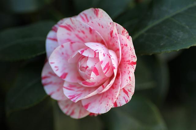 Camellia, Flower, Pink