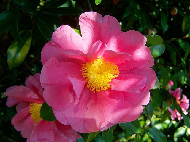 Camellia, Pink Flower, Shrub