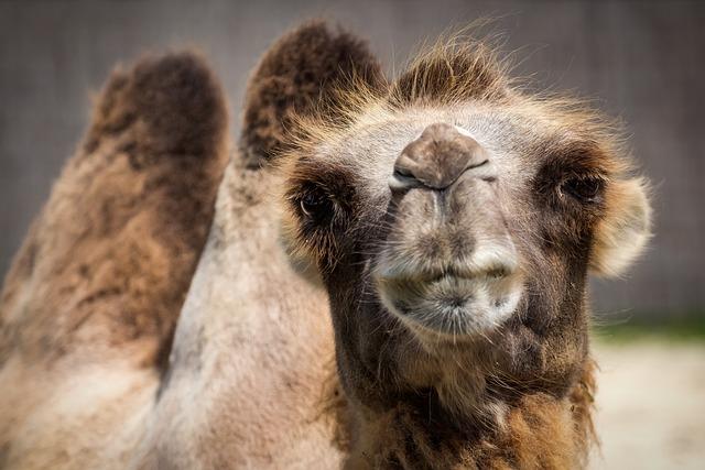 Camel, Bactrian Camel, Watch, Camelus Bactrianus