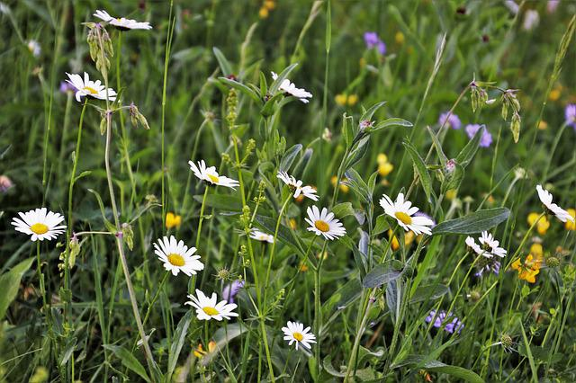 Wildflowers, Camomile, Meadow, Chamomile, Nature