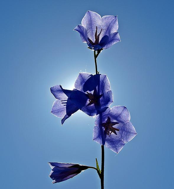 Bellflower, Campanula, Blue, Plant, Blossom, Bloom