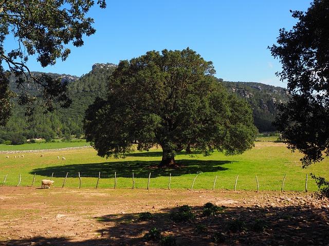 Camphor Tree, Tree, Cinnamomum Camphora, Camphor