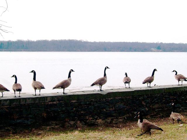 Canada Geese, Canada Goose, Geese, Potomac River