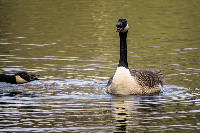 Canada Goose, Excited, Chatter, Ranting, Worried, Goose