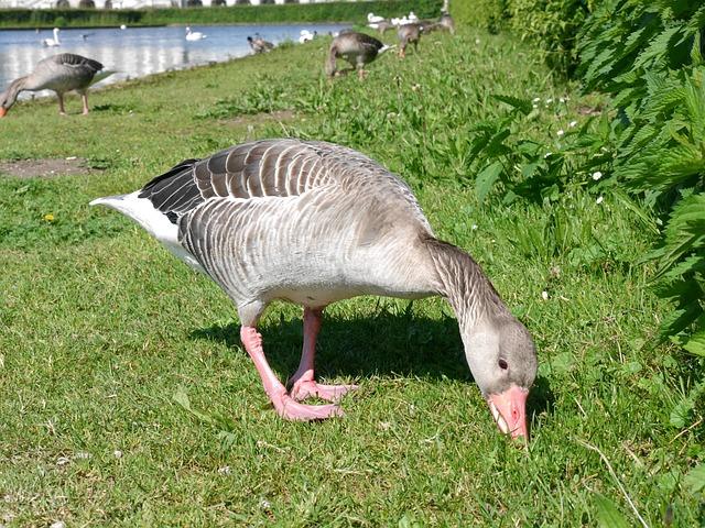 Wild Animals, Geese, Canada Goose