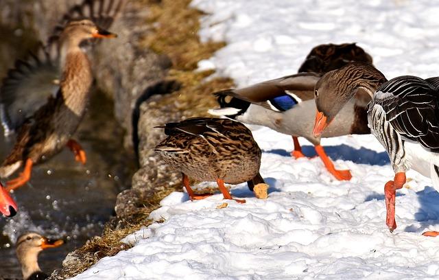 Ducks, Canada Goose, Wild Goose, Water Bird, Goose