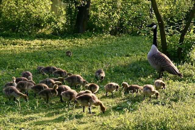 Canada Goose, Chicks, Wild Goose, Goose, Water Bird