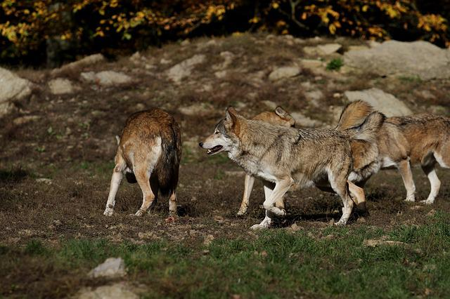 Wolves, Pack, Predator, Canada, Timber Wolves