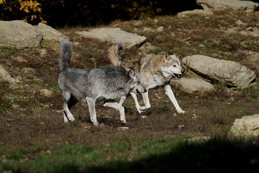 Wolves, Timber Wolves, Canada, Predator, Nature, Pack