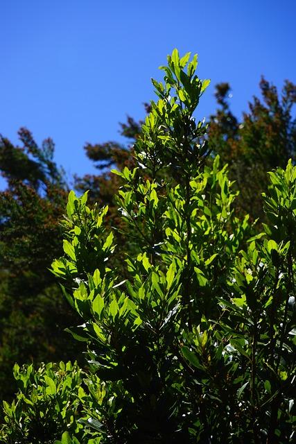 Laurel Tree, Tree, Canary Laurel, Leaves, Bay Leaves