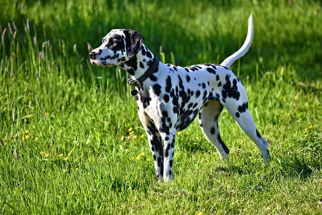 Dalmation Dog, Dog, Animal, Mammal, Canine, Breed