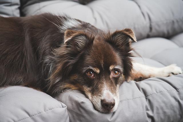 Australian Shepherd, Dog, Pet, Canine, Animal, Lying