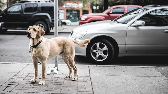 Animal, Canine, Cars, Dog, Footpath, Labrador, Pavement