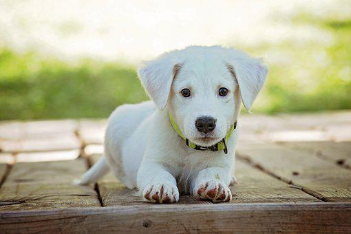 Puppy, Dog, Pet, Animal, Cute, White, Adorable, Canine