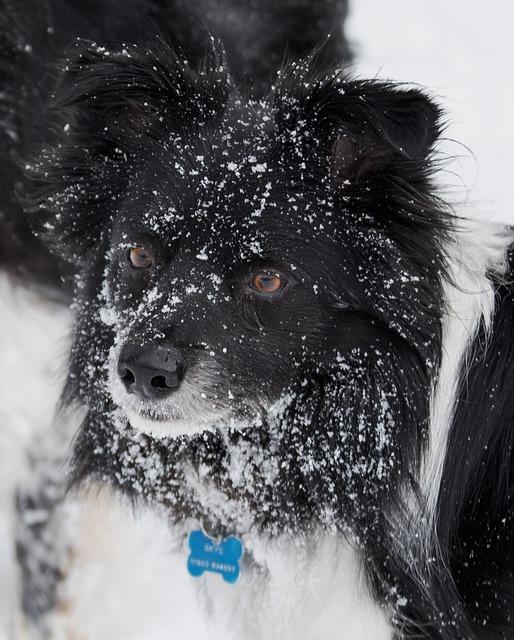 Dog, Canine, Mammal, Portrait, Cute Border Collie Snow