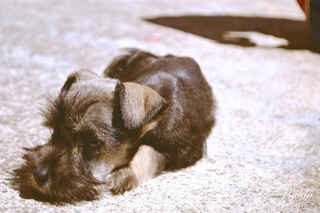 Dog, Schnauzer, Laying Down, Sad, Animal, Pet, Canine