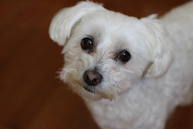 Dog, Cute, Pet, Mammal, Canine, Bichon, Maltese