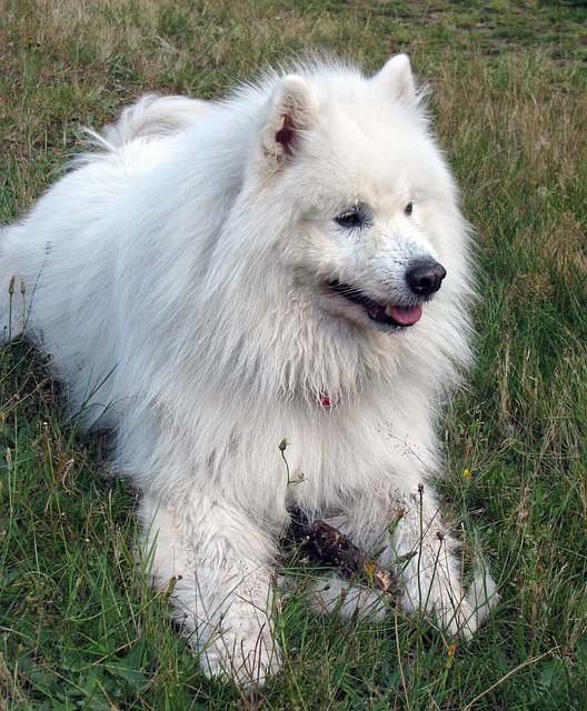 Samoyed, Dog, Canine, Pet, Animal, Beautiful, Photo